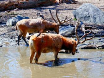 Bronx Zoo i New York - Drikkende dyr