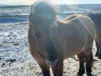 Island stopover på vej til New York Islandpferd