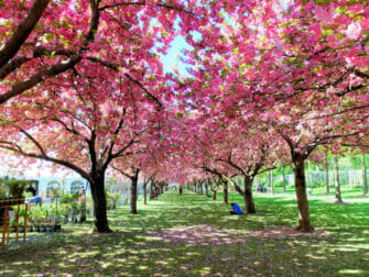 Botanical Gardens i New York - Kirsebærtræer